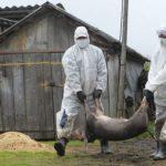 5 cazuri de pestă porcină în Teleorman! 492 de mistreți găsiți morți și 50 de mistreți vânați